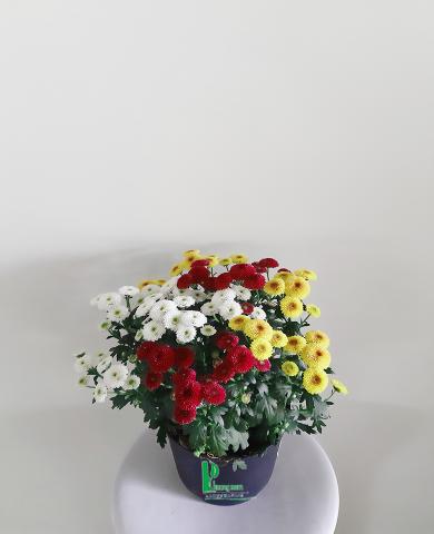 Hoa cúc Đà lạt 04