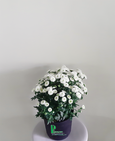 Hoa cúc Đà lạt 03