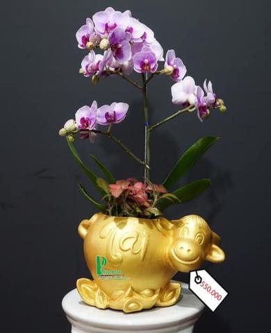 Chậu trâu kéo hoa lan 092