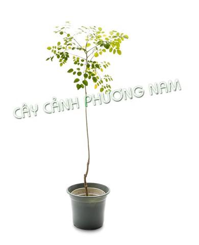 Chậu Cây Chùm Ngây