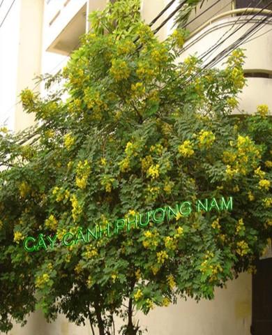 Cây Điệp Hoa Vàng