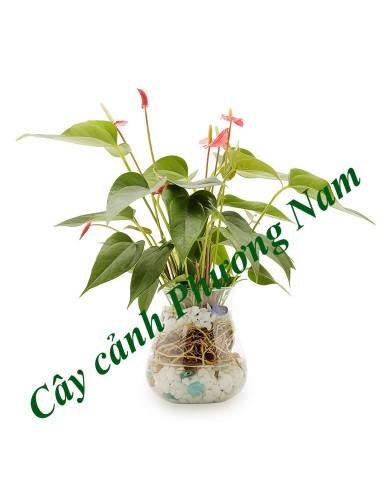 Cây Hồng Môn